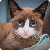 Snowshoe Kitten for adoption in Los Angeles, California - Roo