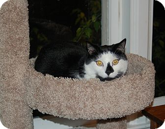 Domestic Shorthair Cat for adoption in Great Mills, Maryland - Jessie