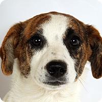Adopt A Pet :: Merry Aussie Heeler - St. Louis, MO
