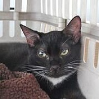 Domestic Mediumhair Kitten for adoption in Westerly, Rhode Island - Chili Tux kitty