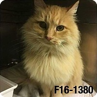 Adopt A Pet :: Cashmere - THORNHILL, ON