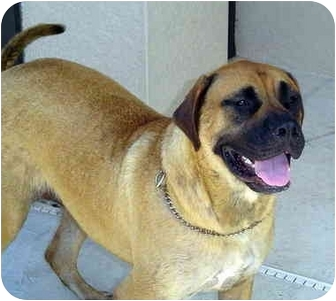 Bullmastiff Dog for adoption in Oviedo, Florida - Crissy