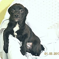 Chihuahua/Poodle (Miniature) Mix Dog for adoption in Brattleboro, Vermont - Rusty 6-8 mo old