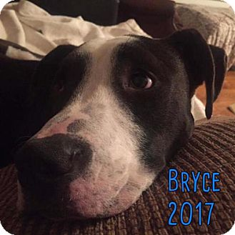 American Staffordshire Terrier Mix Dog for adoption in Whitestone, New York - Bryce