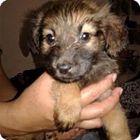 Adopt A Pet :: Shiloh - Dana Point, CA