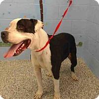 Adopt A Pet :: A501593 - San Bernardino, CA
