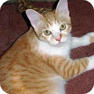 Domestic Shorthair Cat for adoption in Round Rock, Texas - Tommy