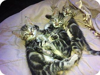 Bengal Kitten for adoption in Davie, Florida - 3 kittens