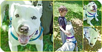 Pit Bull Terrier Mix Dog for adoption in Hillsborough, New Jersey - Lulu