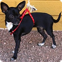 Adopt A Pet :: Bermuda - Gilbert, AZ