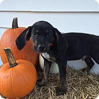 Adopt A Pet :: Red Boy - Zanesville, OH