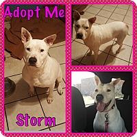 Adopt A Pet :: Storm - Cheney, KS