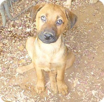 German Shepherd Dog Mix Puppy for adoption in Katy, Texas - Ben
