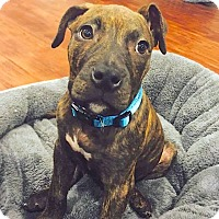 Adopt A Pet :: Louie - Reisterstown, MD