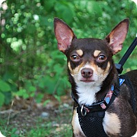 Adopt A Pet :: Cosmo - New Castle, PA