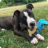 Adopt A Pet :: Kong - Troy, MI