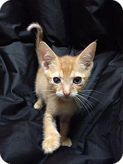 Domestic Shorthair Kitten for adoption in Maryville, Missouri - Sirius