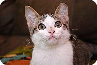 Domestic Shorthair Kitten for adoption in Leander, Texas - Simon