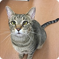 Domestic Shorthair Cat for adoption in Blasdell, New York - Leslie