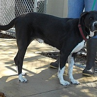 Labrador Retriever/Border Collie Mix Dog for adoption in Orange Park, Florida - ZEUS