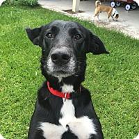 Adopt A Pet :: Ace - Houston, TX