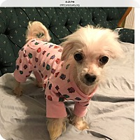 Adopt A Pet :: Cindy Lou Who - LEXINGTON, KY
