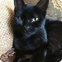 Adopt A Pet :: Samantha - Rochester Hills, MI