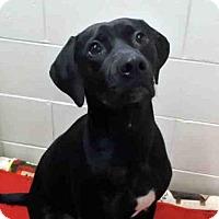 Adopt A Pet :: KODA - Anchorage, AK
