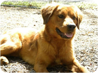 Golden Retriever Mix Dog for adoption in Hagerstown, Maryland - Tawney
