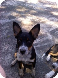 Australian Cattle Dog/Australian Terrier Mix Puppy for adoption in Marlton, New Jersey - Baby Tilly