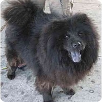 Adopt A Pet :: Bear - Los Alamitos, CA