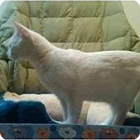 Adopt A Pet :: CreamPuff - Simpsonville, SC