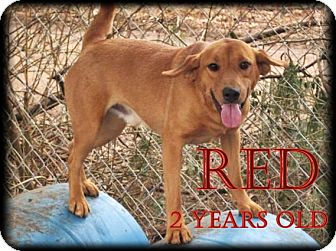 Rhodesian Ridgeback/Labrador Retriever Mix Dog for adoption in Boaz, Alabama - Big Red
