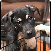 Adopt A Pet :: Mowgli - Rockwall, TX