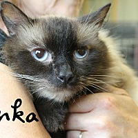 Siamese Cat for adoption in Wichita Falls, Texas - Tonka