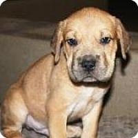 Adopt A Pet :: Gideon - Gilbert, AZ