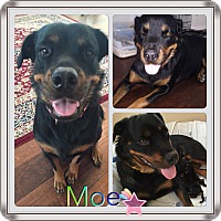 Adopt A Pet :: Moe - Gilbert, AZ