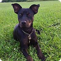 Adopt A Pet :: Kai - Lima, OH