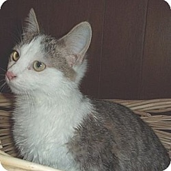 Photo 2 - Domestic Shorthair Cat for adoption in Brookville, Indiana - Arnie
