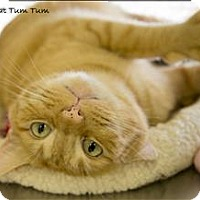 Adopt A Pet :: The Great Tum Tum - Sherwood, OR