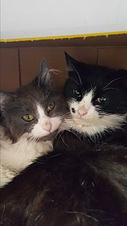 Domestic Shorthair Cat for adoption in Hazlet, New Jersey - Zoe