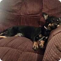 Miniature Pinscher/Chihuahua Mix Dog for adoption in San Antonio, Texas - Penny