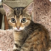 Adopt A Pet :: BooBoo Bear - Apex, NC