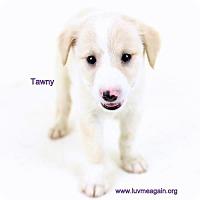 Adopt A Pet :: Tawny - Bloomington, MN