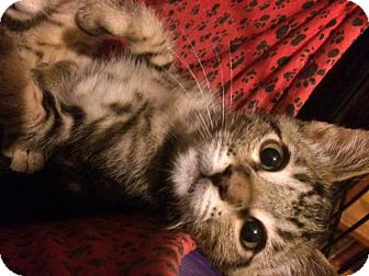 Domestic Shorthair Cat for adoption in Long Beach, California - Timmy