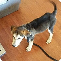 German Shepherd Dog/Hound (Unknown Type) Mix Dog for adoption in fort wayne, Indiana - Teddy