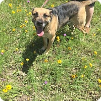 Pit Bull Terrier Mix Dog for adoption in Springtown, Texas - Sarg