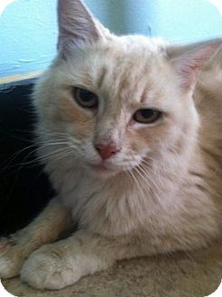 Domestic Mediumhair Cat for adoption in Hudson, New York - Sunshine