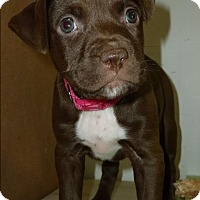 Terrier (Unknown Type, Medium)/Labrador Retriever Mix Puppy for adoption in Detroit, Michigan - Rose-Adopted!