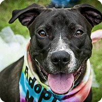 Pit Bull Terrier Dog for adoption in Plano, Texas - Mia